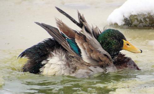 绿头鸭, 男性, 德雷克, 羽毛, 抖松, 多彩, 游泳
