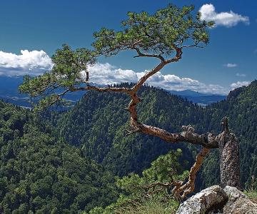 树, 自然, 树的库存照片, 关节和有股票, 针叶树, 夏季, 绿色