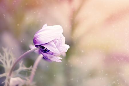 银莲花, 花, 紫罗兰色白色, 开花, 绽放, 花卉园, 植物