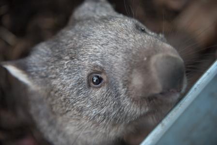 熊, 塔斯马尼亚岛, 有袋类动物, 草食动物, 澳大利亚, 哺乳动物, 野生动物