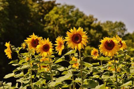 向日葵, 蜜蜂, 夏季, 花园, 开花, 绽放, 黄色