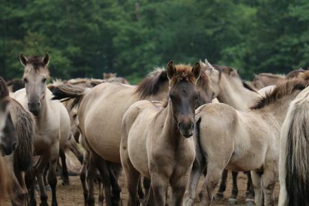 小马驹, 马, 羊群, 灰色, 小马, 哺乳动物, 休息