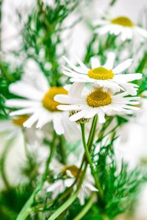 洋甘菊, 花, 自然, 植物, 自然, 药草, 绿色