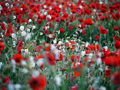 罂粟, 红色, 白色, 字段, 花卉背景, 自然, 花