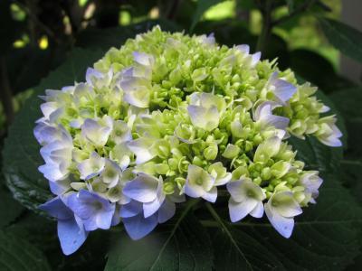 花, 绣球花, 植物, 绿色