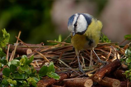 蓝雀, 蓝山 caeruleus, 鸟, 小的鸟, 花园, 觅食, 自然