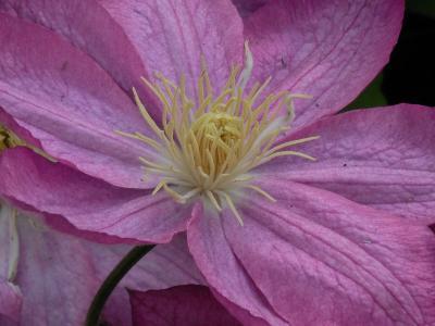 铁线莲, 绽放, 植物, 夏季, 自然, 花, 绽放