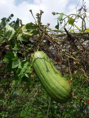 葫芦, 葡萄树, 健康, 有机, 农业, 新鲜, 花园