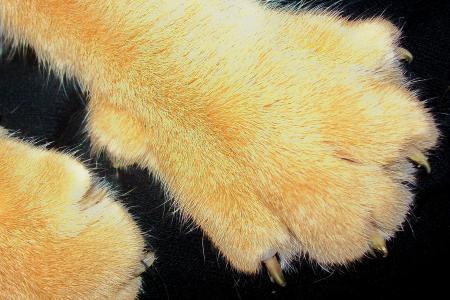 猫, 爪子, 阿迪达斯, 动物