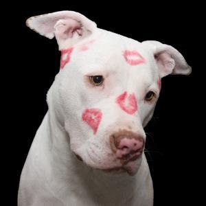 斗牛犬, 狗, 比特犬, 情人节, 情人节那天, 斯塔福德郡, 小狗