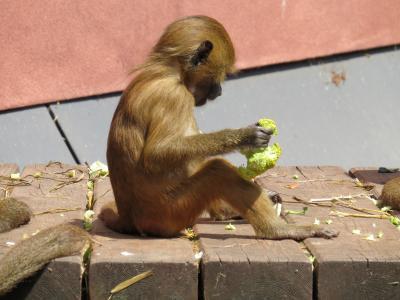 猴子, 巴巴利猿, 猕猴西尔瓦努斯·塞耶, 桃花心木, 猕猴种类, 老世界猴亲属, 裸体