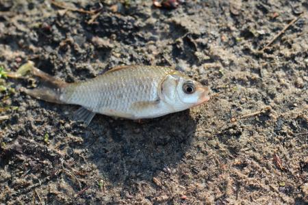 鱼, 鲫鱼, 土地, 海滩, 生态学