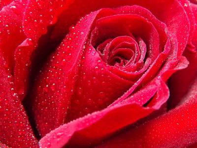 上升, 露水, 水, 红色, 花瓣, 花