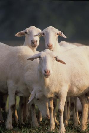羊, 羊群, 牲畜, 农场, 放牧, 景观, 农业