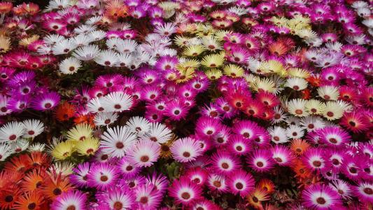 hwasaham, 利文斯通雏菊, 花, 花园