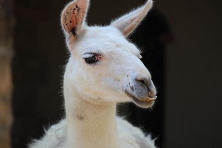 动物, 山羊, 动物园, 美洲驼, 羊驼, 安第斯山脉, 哺乳动物