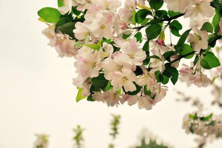 海棠, 春天, 花