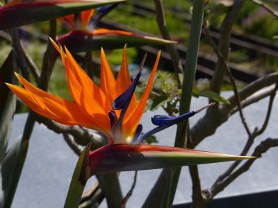 花, 关闭, 尾温室, farbenpracht, strelicia, 开花, 绽放