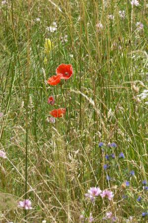 上一页, 字段, 罂粟, 草原, 自然, 花, 草药