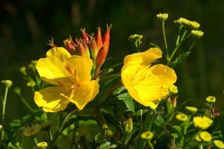 花, 黄色, 娇嫩的花, 植物, 黄色的花, 夏天的花, )