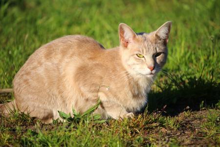 猫, 小猫, 品种的猫, 马鲛鱼, 年轻的猫, mieze, 动物