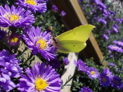 gonepteryx rhamni, 紫苑, 昆虫, 蝴蝶, 白岭, 花园, herbstaster