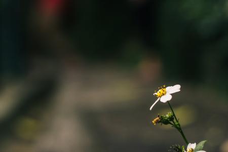 一个单一的雏菊