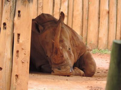 犀牛, 棕色, 动物, 喇叭, 野生, 木材-材料, 一种动物