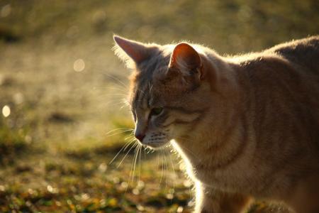 猫, 品种的猫, 秋天, 阳光, 马鲛鱼, 小猫