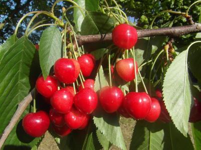 樱桃, 水果, 红色, 成熟的, 吃得健康, 新鲜