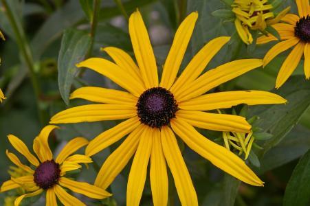 太阳帽子, 灌木, 黄金光菊, 阳光明媚, 黄色, 花, 雏菊家庭