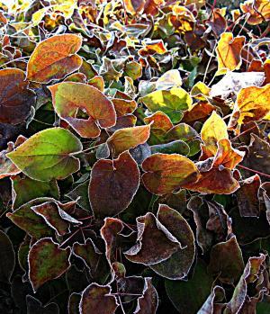 早上小时, 藿, 仙女花, 灌木, 叶子, 成熟, 冰沉积