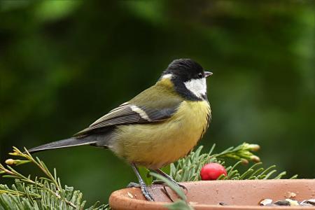 鸟, 山雀, 大山雀, 觅食, 花园, 一种动物, 动物主题