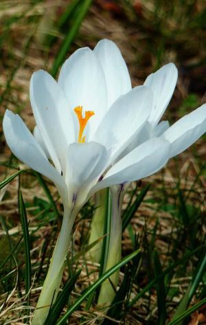 番红花, 春天, 自然, 植物, 花, 草甸, 绽放