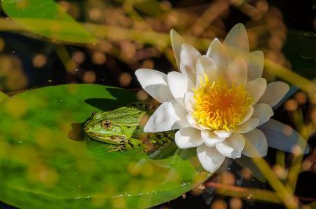 青蛙, 水百合, 池塘, 绿色, 水, 植物区系, 自然