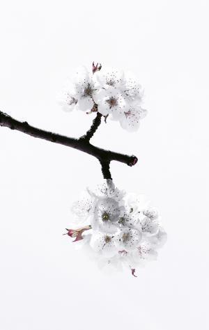 樱桃, 开花, 春天, 自然, 树, 分公司, 花