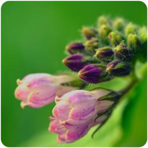 紫草, 花蕾, 花