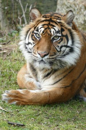 老虎, 苏门答腊岛, 女性, 一种动物, 在野外的动物, 动物主题, 白天