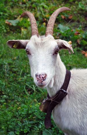 山羊, 动物, 奥地利, 阿尔卑斯山, 巴克, 喇叭, 外套