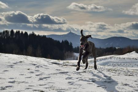狗, 大丹犬, 小狗, 雪, ještěd, 冬天, 寒冷的温度