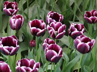 郁金香, 花, 荷兰, 库肯霍夫, 紫色, 花, 自然