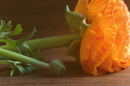 毛茛, 花, 橙色, 橙花, 开花, 绽放, 橙花