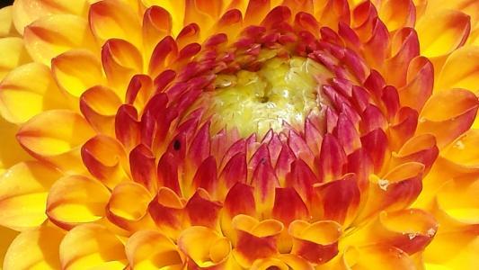 大丽花, 黄色, 花, 秋花, 大丽花花园, 开花, 绽放