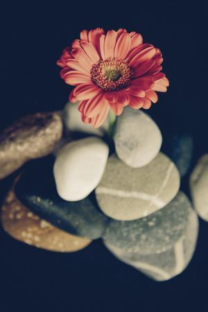 花, 开花, 绽放, 非洲菊, 野生花卉, 植物, 红色