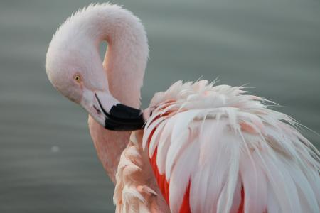火烈鸟 chilensis, 智利火烈鸟, 南北美洲, 大道, 羽毛, 动物, 优雅