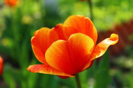 郁金香, 5 月 9 日, 胜利日, 假日, 花, 红色, 9maâ