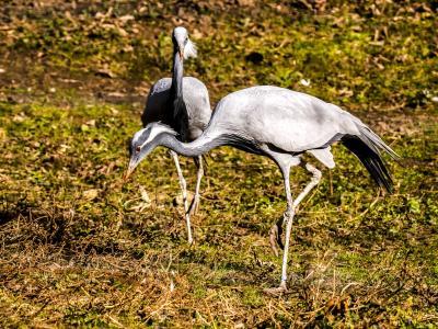 起重机, 鸟, 动物, 野生动物, 自然, 喙