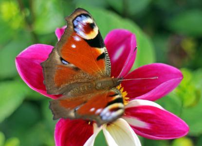 孔雀蝴蝶, 蝴蝶, 孔雀, 蝴蝶, edelfalter, 开花, 绽放
