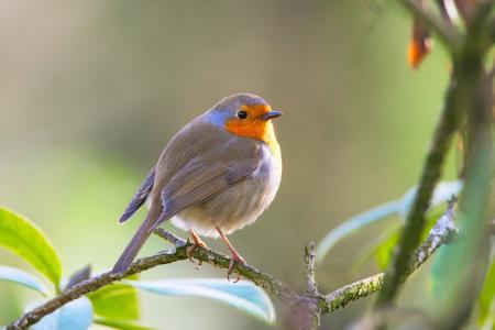知更鸟, 鸟, erithacus rubecula, 花园, 鸣禽, 自然, 关闭