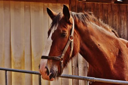 动物, 谷仓, 棕色, 特写, 国内, 马, 头
